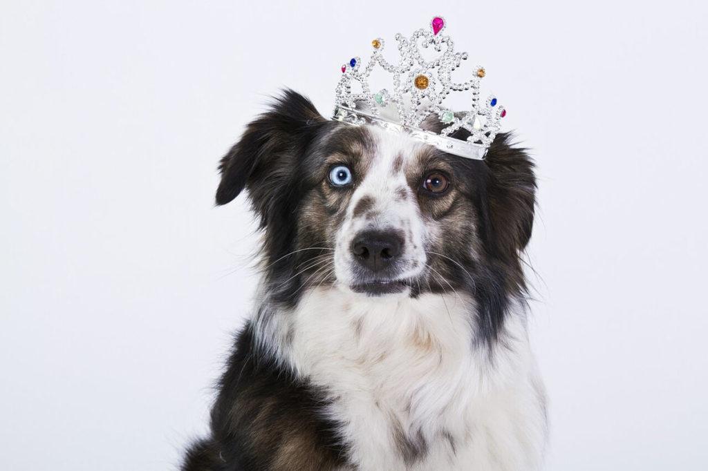 Cesar Millan dog training DVD - Socializations