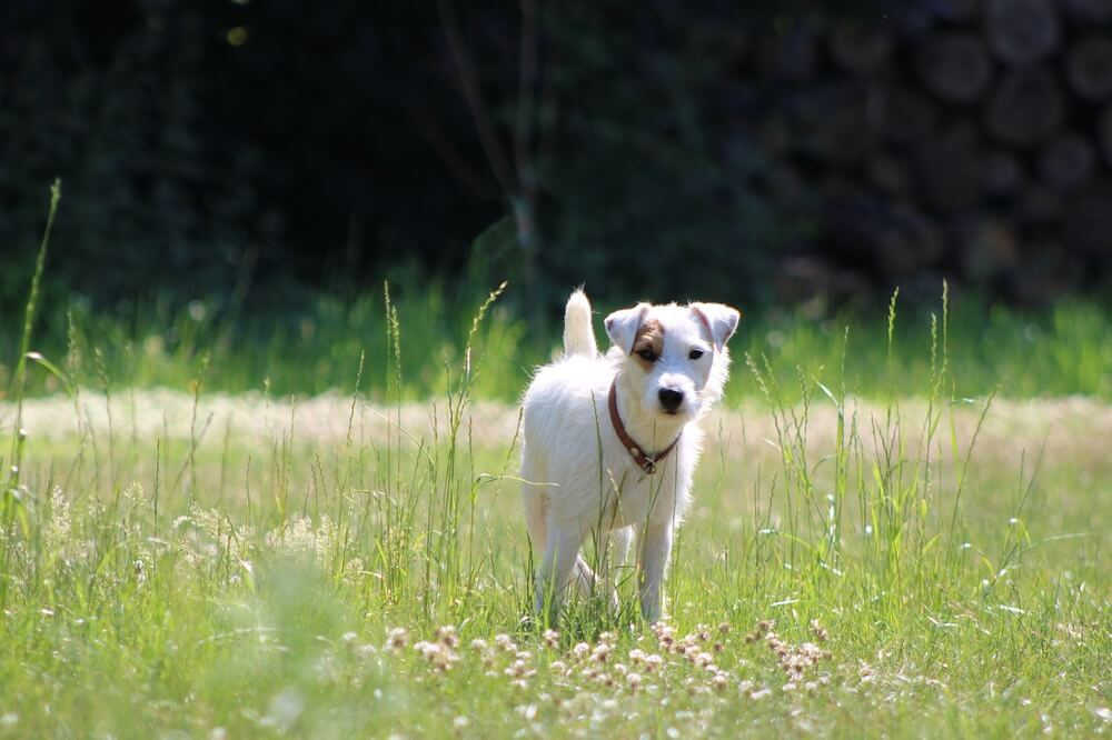 Jack and Parson Russell Terriers