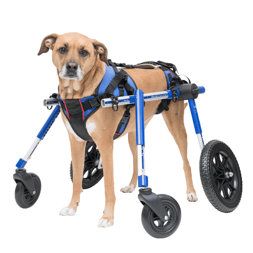 Can a dog recover from paralysis