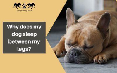 Why does my dog sleep between my legs?